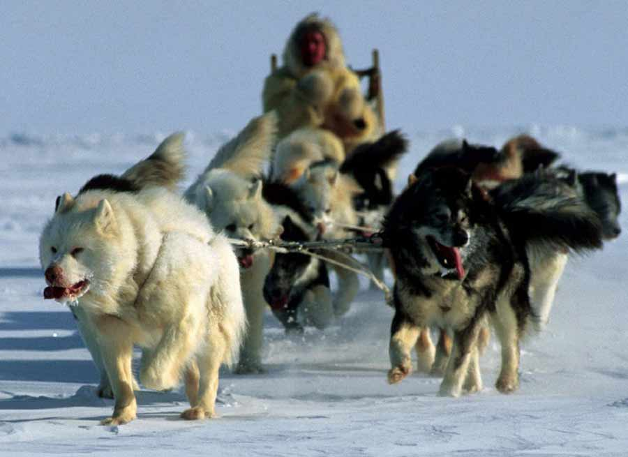Canadian Eskimo Dog Video Amp Pictures Gallery