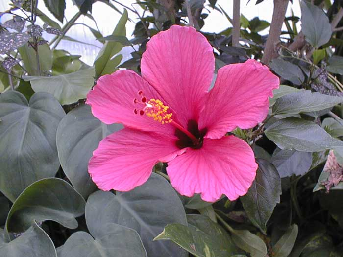 Hibiscus color