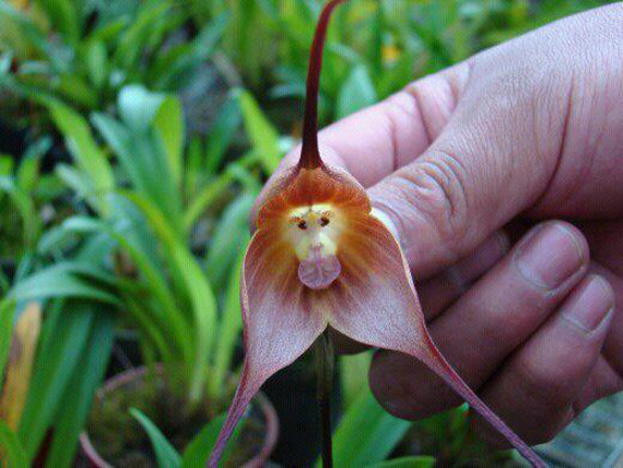 Monkey Orchid1