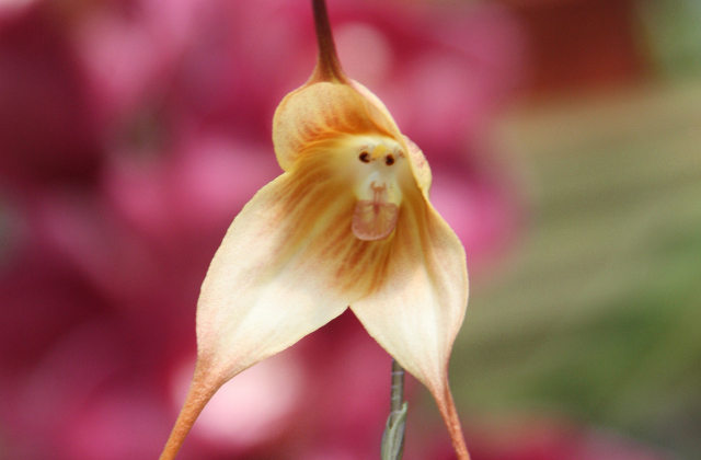 Monkey Orchid2