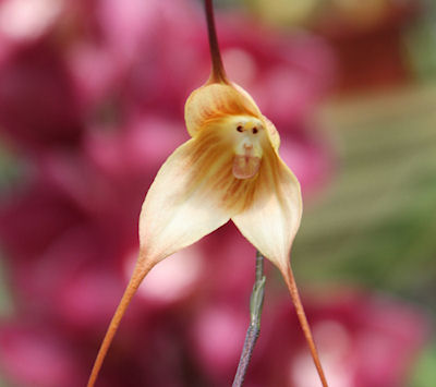 Monkey Orchid5