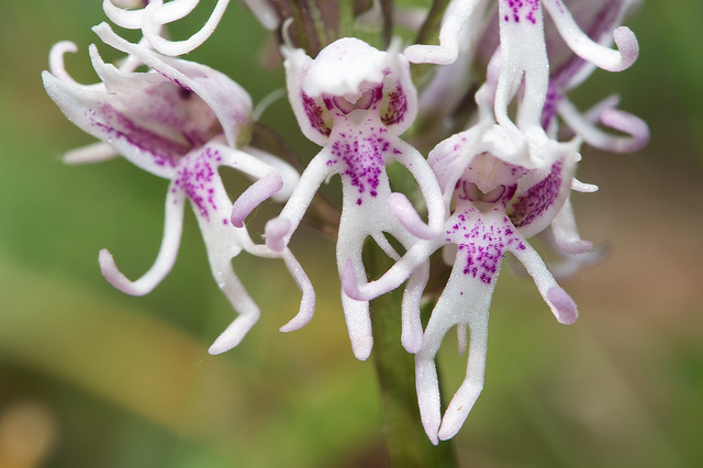 Orchis simia info